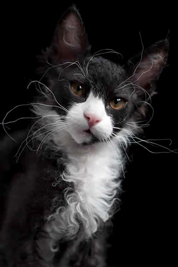 Bild på en svartvit LaPerm.