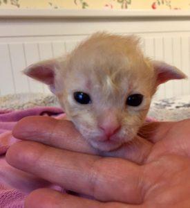 Laperm bebisen Caramel 2 veckor