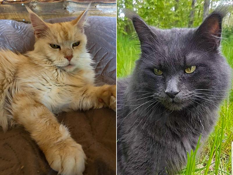 Bild på två Maine Coon-katter.
