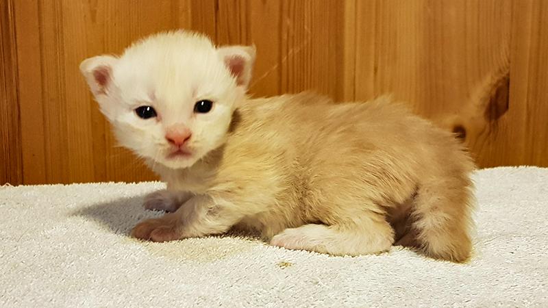 Bild på en brunmelerad kattunge.