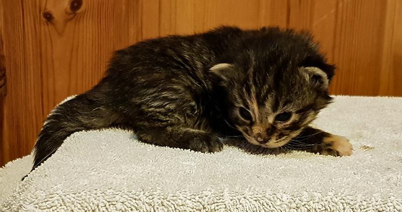 Bild på en gråmelerad kattunge.